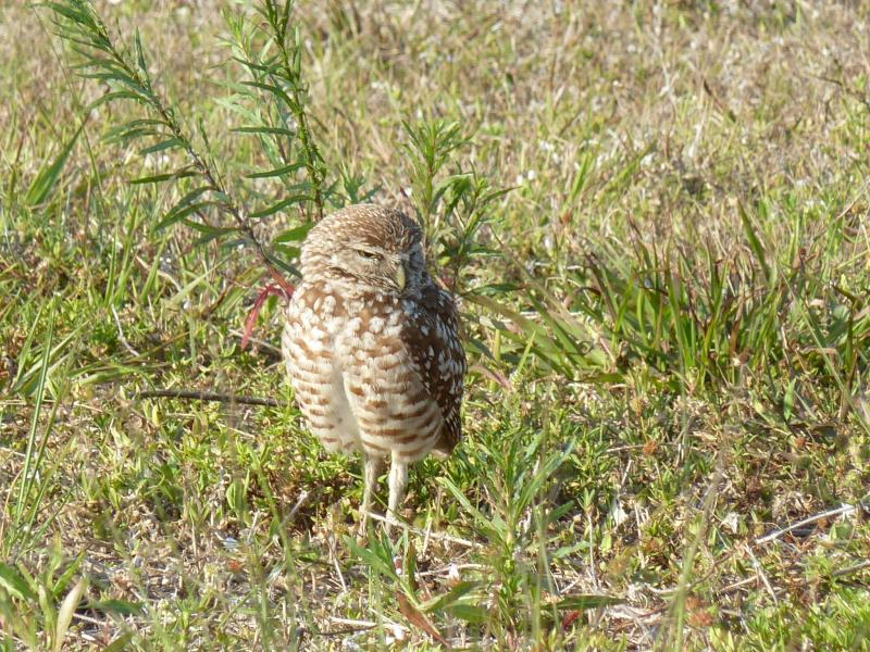 The burrowing owl